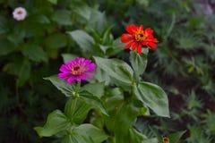 Blommande lilor och röd blommacloseup för Zinnia (Zinniaelegans) Royaltyfria Bilder