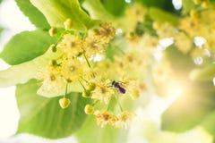 Blommande lind, lind i blom med bin Arkivbild