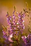 Blommande ljung Royaltyfri Fotografi