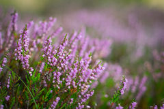 Blommande ljung i skogen, DOF Royaltyfria Bilder
