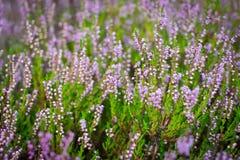 Blommande ljung i skogen, DOF Royaltyfri Bild