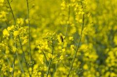 Blommande ljusa blommor i fältet av våldtar Arkivbild