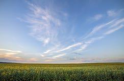 Blommande ljust gult moget solrosfält Jordbruk oljeproduktion, skönhet av naturbegreppet arkivfoton