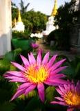 Blommande lotusblomma i en tempel på thai Fotografering för Bildbyråer