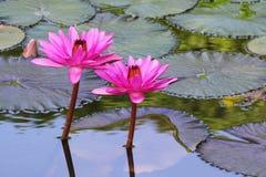 Blommande lotusblommablomma Royaltyfri Foto