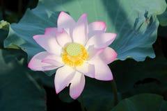 Blommande lotusblommablomma Royaltyfri Fotografi