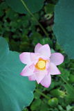 Blommande lotusblommablomma Fotografering för Bildbyråer