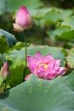 Blommande lotusblommablomma Arkivfoto
