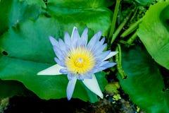 Blommande lotusblommablomma i dammet Fotografering för Bildbyråer
