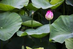 Blommande lotusblommor Arkivfoto