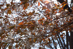 Blommande lösa körsbärsröda blomningar Arkivfoton