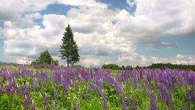 Blommande lupineblommor stock video