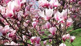 Blommande magnolia i parkera stock video