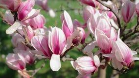 Blommande magnolia i parkera arkivfilmer