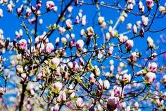Blommande magnoliafilial Arkivfoton