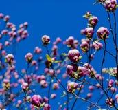 Blommande magnoliafilial Royaltyfri Fotografi