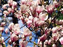 Blommande magnoliasoulangeana Royaltyfri Foto
