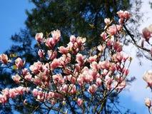 Blommande magnoliasoulangeana Royaltyfria Foton