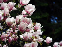 Blommande magnoliasoulangeana Royaltyfria Bilder