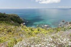 Blommande manuka Nya Zeeland för Tawharanui halvö Royaltyfri Foto