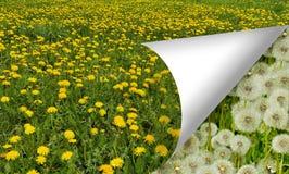 Blommande maskrosäng Royaltyfri Fotografi