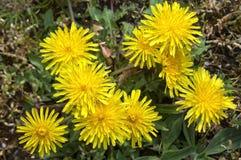 Blommande maskrosor Arkivbild
