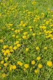 Blommande maskrosor i ängen Arkivfoto