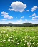 Blommande maskrosor på äng Fotografering för Bildbyråer