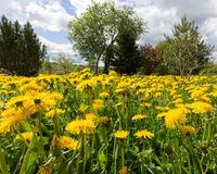 Blommande maskrosor på en solig dag mot himlen Arkivbild