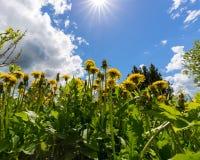 Blommande maskrosor på en solig dag mot himlen Fotografering för Bildbyråer