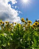 Blommande maskrosor på en solig dag mot himlen Royaltyfri Bild