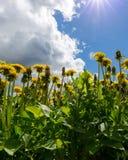 Blommande maskrosor på en solig dag mot himlen Arkivfoto