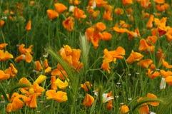 Blommande mexicanska guld- vallmo i en trädgård i Florence Royaltyfri Bild