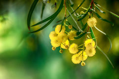 Blommande mimosafilial Arkivbilder