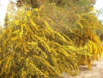Blommande mimosaträd Fotografering för Bildbyråer