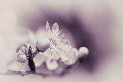 Blommande mirabelle Arkivfoto