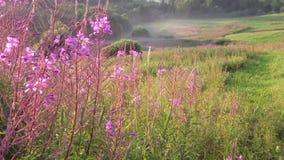 Blommande mjölkört i fält på solnedgången lager videofilmer