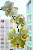 Blommande mjuka orkidér som en del av inre Royaltyfri Fotografi