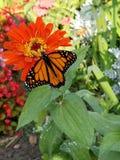 Blommande monarker royaltyfri bild