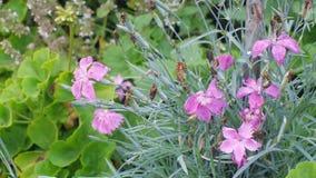 Blommande nejlika i sommarträdgårdrabatt arkivfilmer