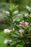 Blommande oleander Arkivbilder