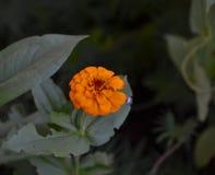 Blommande orange blomma för Zinnia (Zinniaelegans) Arkivbilder