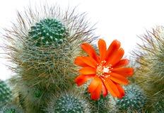 Blommande orange kaktusblomma på den taggiga kaktuns Arkivbild