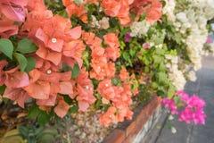 Blommande orange pappers- blommor (bougainvillea) i en trädgård - aftonljus Arkivfoton