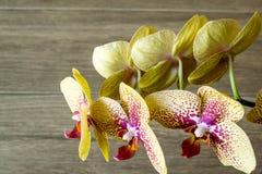 Blommande orkidé för blomma Arkivfoto