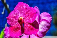 Blommande orkidér nära Chiang Mai, Thailand Royaltyfria Foton