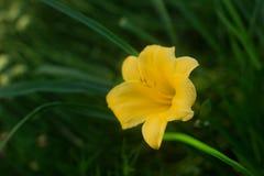 Blommande ovanliga gula mini- daylilies som är fullvuxna på en hem- rabatt arkivfoto