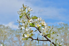 Blommande päron 16 Royaltyfri Foto