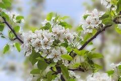Blommande päronträd Royaltyfri Foto