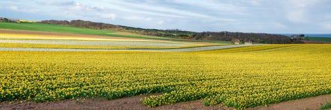 Blommande påskliljafält i vår nära Aberdeen i norr östliga Skottland Royaltyfria Foton